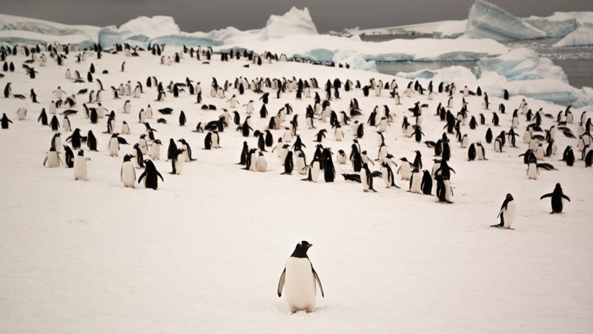 A curious penguin drifts away from the pack for a little adventure.