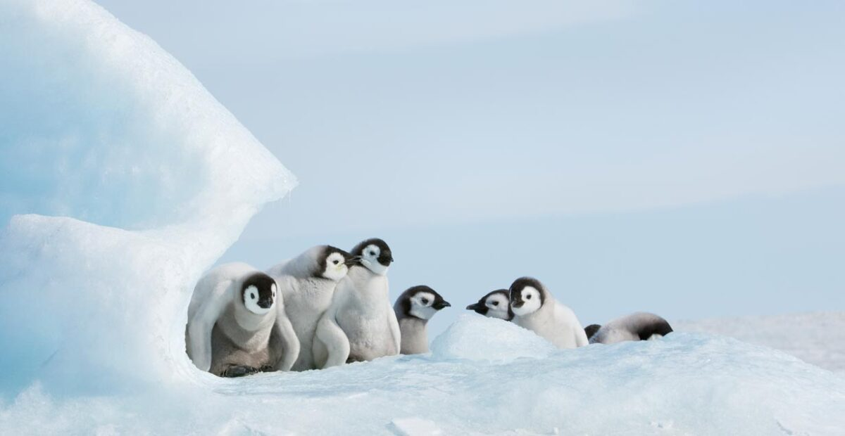 Young penguins huddle behind a chunk of ice.